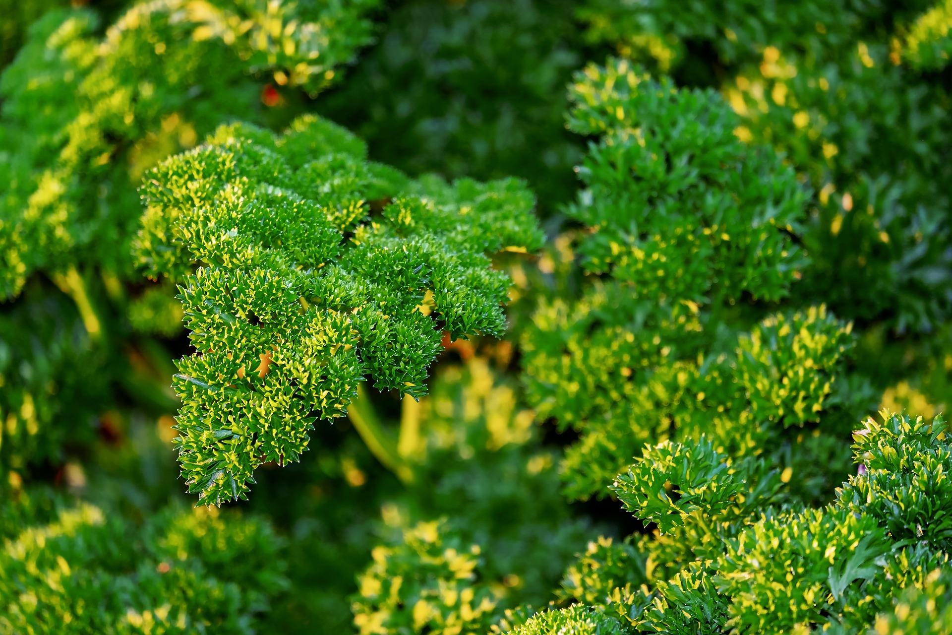 parsley-3689787_1920.jpg