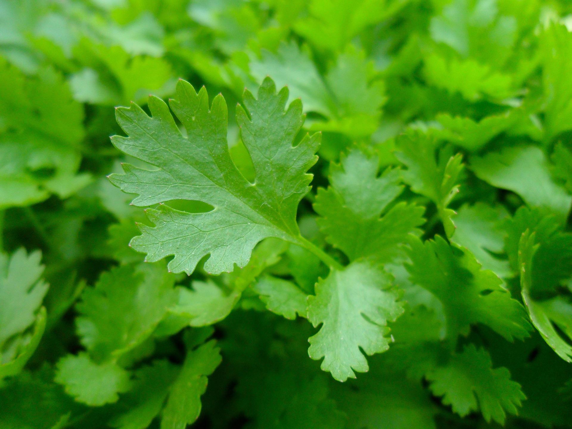 parsley-741996_1920.jpg